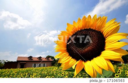 真夏の向日葵 17106563
