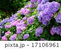 アジサイ あじさい 花の写真 17106961