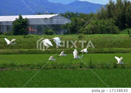 田んぼの上を飛ぶダイサギとコサギの集団の写真素材 [17138630] - PIXTA