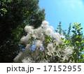 煙のようなのは花でしょうか?スモークツリー 17152955