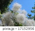 煙のようなのは花でしょうか?スモークツリー 17152956