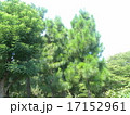 昭和の森の大きな木ダイオウマツとニセアカシア 17152961