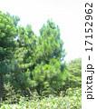 昭和の森の大きな木ダイオウマツ 17152962