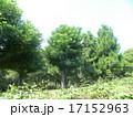 昭和の森の大きな木ダイオウマツとニセアカシア 17152963
