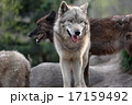 白と黒 シンリンオオカミ 17159492