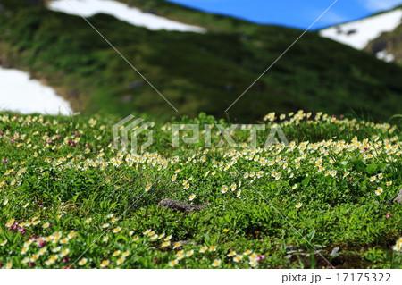 立山室堂平のお花畑 17175322