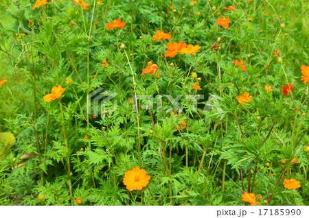 キバナコスモスの花畑(種差海岸/青森県八戸市) 17185990