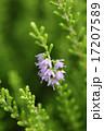 かわいいエリカの花 17207589