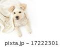 ミックス犬 ペット 犬の写真 17222301