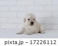 ゴールデンの仔犬 17226112