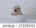 ボールに入ったゴールデンレトリーバーの仔犬 17226242