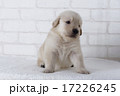 お座りするゴールデンレトリーバーの仔犬 17226245