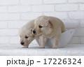 容器から出ようとするゴールデンレトリーバーの仔犬 17226324