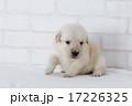 ふわふわのゴールデンレトリーバーの仔犬 17226325