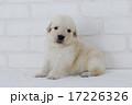 カメラを見るゴールデンレトリーバーの仔犬 17226326