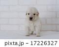 まっすぐレンズを見るゴールデンレトリーバーの仔犬 17226327