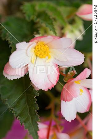 ベゴビアの花 17226843