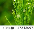 スギナ 草 露の写真 17248097