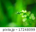 スギナ 草 露の写真 17248099