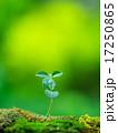 新芽 発芽 芽生えの写真 17250865