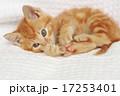 かわいい 動物 猫の写真 17253401