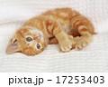 かわいい 動物 猫の写真 17253403