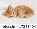 かわいい 動物 猫の写真 17253404