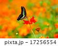 キバナコスモス アゲハチョウ 蝶の写真 17256554