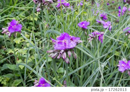 紫露草・蛍草(ムラサキツユクサ・ホタルグサ)の株の資料 17262013