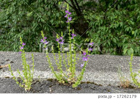 桔梗草・段々桔梗(キキョウソウ・ダンダンギキョウ)の穂状花序の資料 17262179