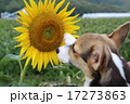 犬 17273863