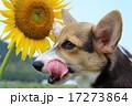 犬 17273864