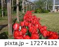 松阪ファームのチューリップ 17274132