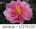 朝田寺の牡丹 17274133