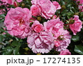 伊勢神宮の薔薇 17274135