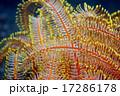 カラフルなウミシダ 17286178
