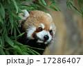 草の間から覗いているレッサーパンダ 17286407