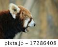 あくびをするレッサーパンダ 17286408