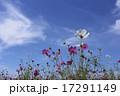 晴天の日の花びらが綺麗なコスモス 17291149