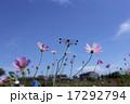 晴天の日の花びらが綺麗なコスモスととんぼ 17292794