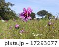 花びらが綺麗なコスモス 17293077