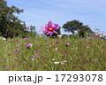 花びらが綺麗なコスモス 17293078