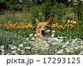 花とコーギー 17293125