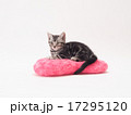 ピンクのクッションにのったアメリカンショートヘアーの子猫 17295120