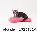 ピンクのクッションにのったアメリカンショートヘアーの子猫 17295126