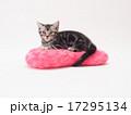ピンクのクッションにのったアメリカンショートヘアーの子猫 17295134