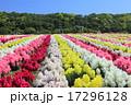 東京ドイツ村 金魚草 花畑の写真 17296128