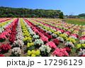 東京ドイツ村 金魚草 花畑の写真 17296129