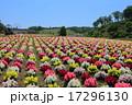 東京ドイツ村 金魚草 花畑の写真 17296130