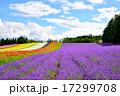 ラベンダー ファーム富田 花の写真 17299708
